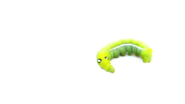stockvideo's en b-roll-footage met caterpillar op geïsoleerde wit - rups