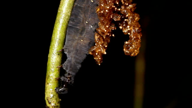 Caterpillar parasitized by an  Ichneumon wasp The wasp larvae have emerged and are pupating on the back of the dead caterpillar.   parasitic stock videos & royalty-free footage
