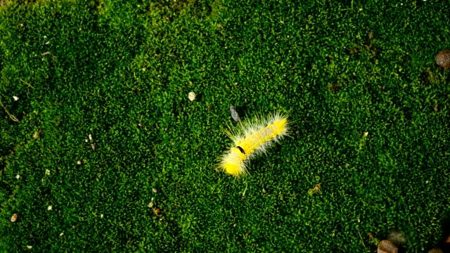 stockvideo's en b-roll-footage met caterpillar swallowtail - rups