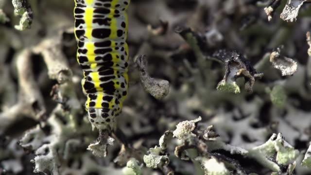 Caterpillar Macro shot of a caterpillar 笹 stock videos & royalty-free footage