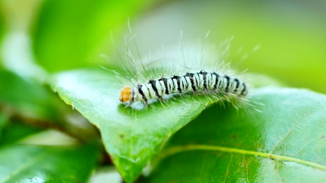 Caterpillar walking on green leaf. video