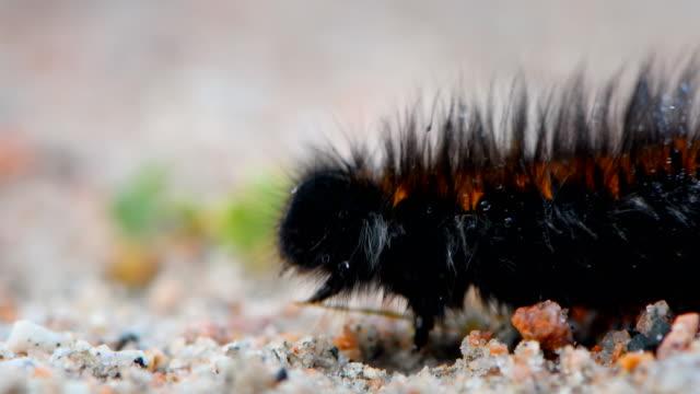vídeos y material grabado en eventos de stock de caterpillar camina con su piel peluda peluda de cerca macro video - peludo