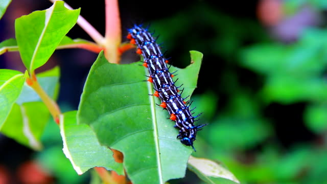 caterpillar worm striped blue - black and white Walking eat on leaf  (Eupterote testacea, Hairy caterpillar) select focus with shallow depth of field video