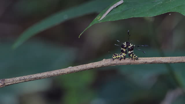 Caterpillars crawling on branches. video