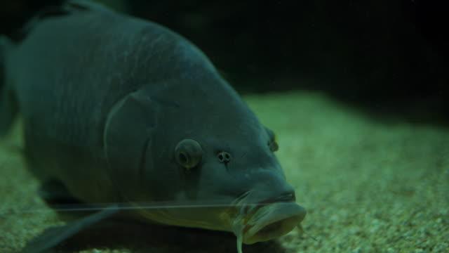 catfish swimming in aquarium - siluriformes video stock e b–roll