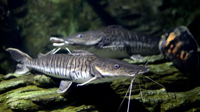 pesce gatto - siluriformes video stock e b–roll