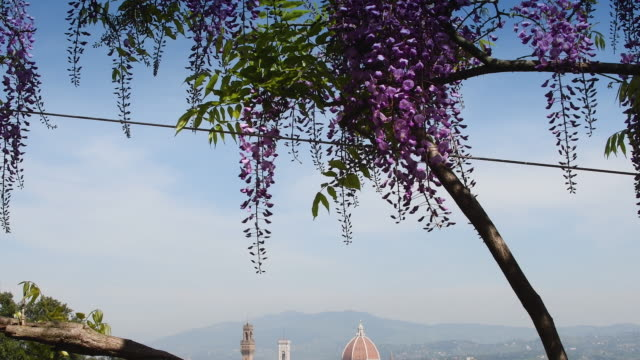 Cathedral of Santa Maria del Fiore in Florence seen from Bardini garden with blooming purple wisteria. 4K UHD Video.