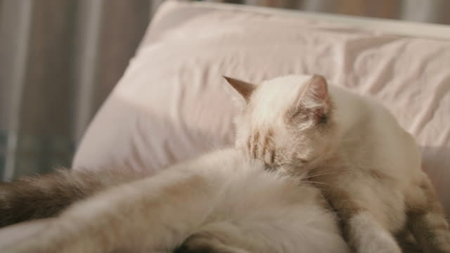 cats are self-cleaning feet. - кошка смешанной породы стоковые видео и кадры b-roll