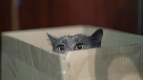 linguaggio del corpo del gatto. gatto spaventato mette giù le orecchie mentre è seduto in una scatola. - carino video stock e b–roll