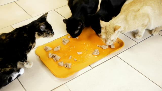 кошкина ест консервы (hd) - кошка смешанной породы стоковые видео и кадры b-roll