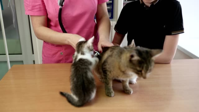 Cats Family (Cat Mom And Kittens) Have Medical Examining At Veterinary Office. Woman Veterinarian Conducts Examination In Presence Of Boy Cat's Owner video