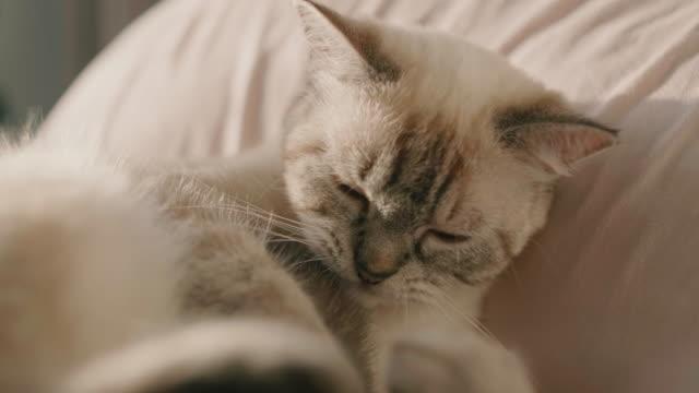 cats in bed , trying to sleep. - кошка смешанной породы стоковые видео и кадры b-roll