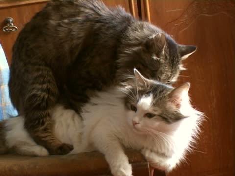Les chats s'accoupler - Vidéo