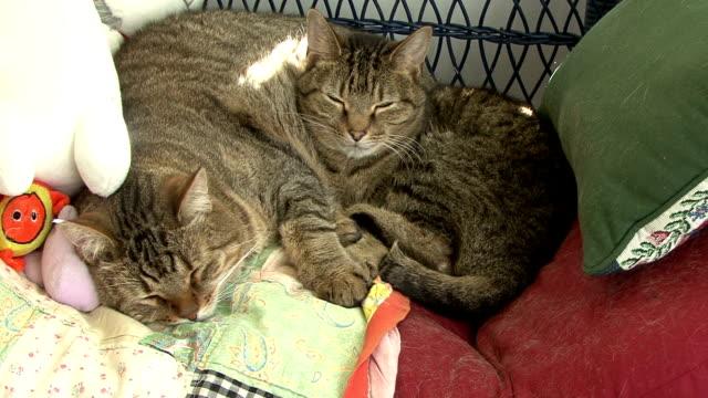 vídeos y material grabado en eventos de stock de gatos tranquilo - vibrisas