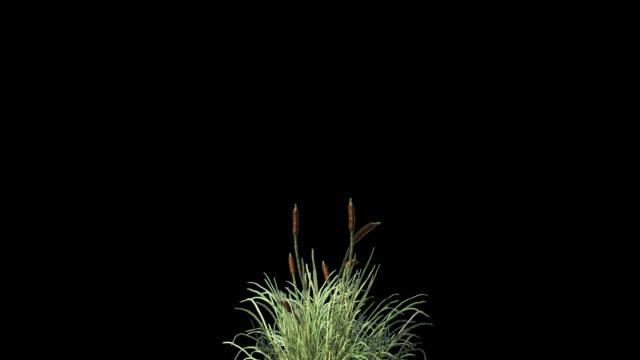 Cattail grass in wind seamless loop, Alpha Channel