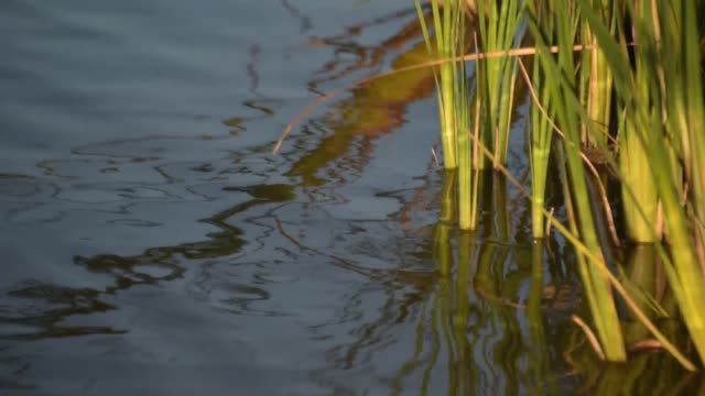 Cattail on the lake