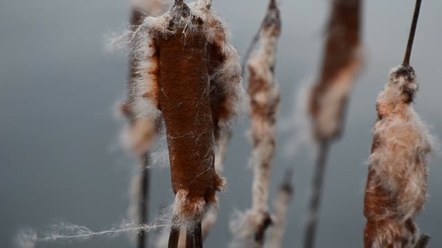 Cattail plant in the wind