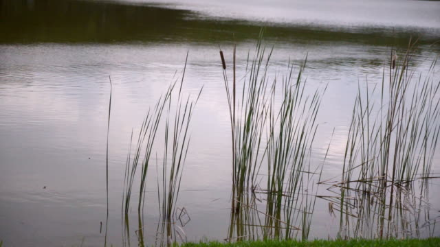 Cattails and Reeds in the lake in the cloudy day, slow motion shot video