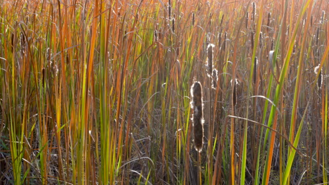 Cattails sparkle in late afternoon autumn sunshine in rural Minnesota