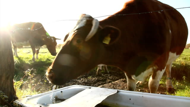 cattle drinking video