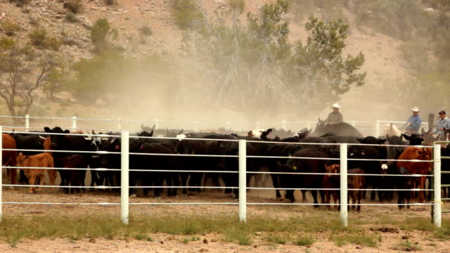 cattle driven into corral hd 30p - nötkreatur bildbanksvideor och videomaterial från bakom kulisserna