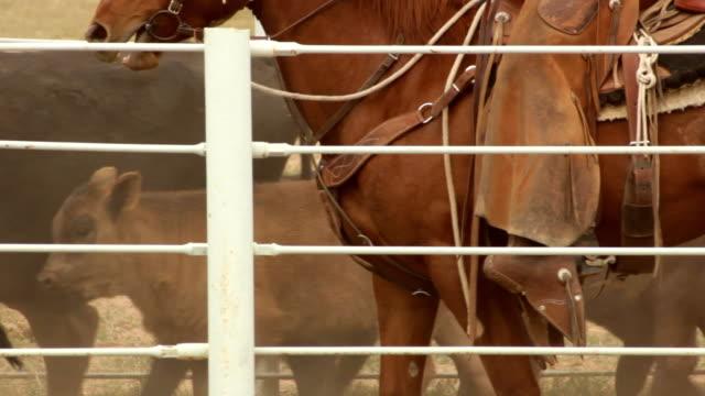 recinto per bestiame guidate in hd, 30 fps - mandriano video stock e b–roll