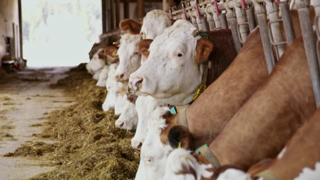 ds cattle eating hay inside of a barn - barns stock videos & royalty-free footage