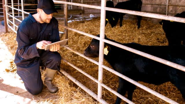 Cattle farmer using digital tablet video