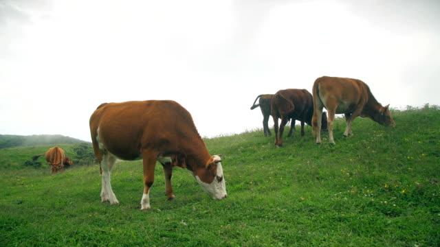 vidéos et rushes de alimentation de bétail dans la prairie de wumeng,guizhou, chine. - vache laitière