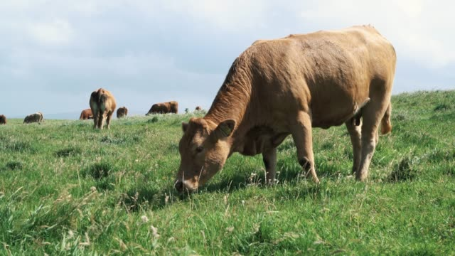 Cattle feeding near cliffs on the wild atlantic way, Ireland