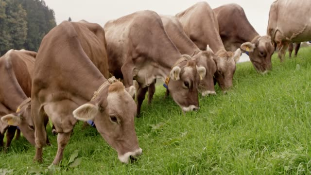 Cattle feeding on grass out in the green pasture video