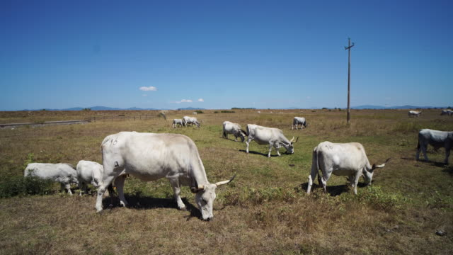 Cattle grazing in Italy: cows in a filed in the Maremma plan