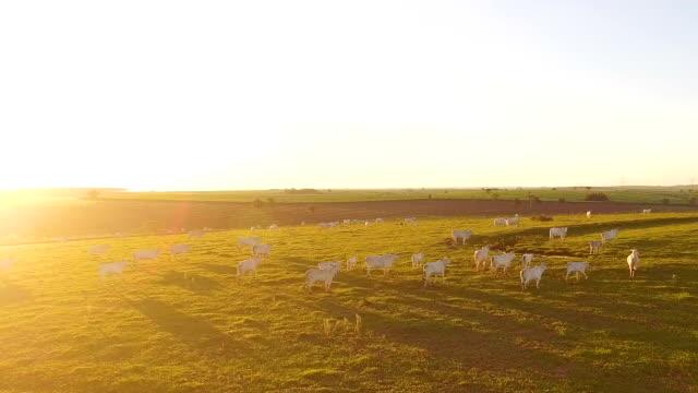 bydło wypasające się na pastwisku o zachodzie słońca na pięknym zielonym pastwisku - żywy inwentarz filmów i materiałów b-roll