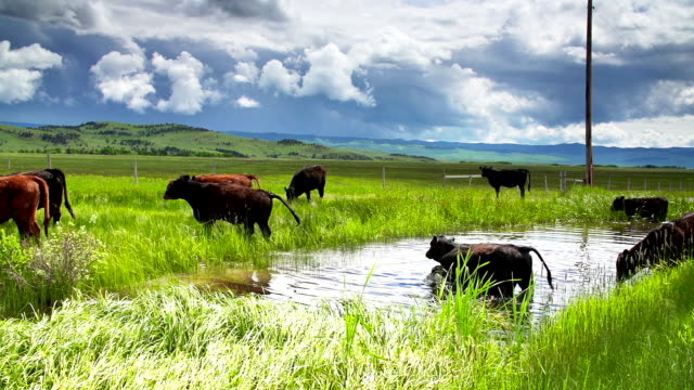 Cattle herd under a stormy sky gathering at a waterhole