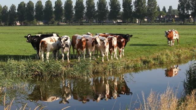 Cattle In A Row In Meadow Near Amsterdam,Netherlands video