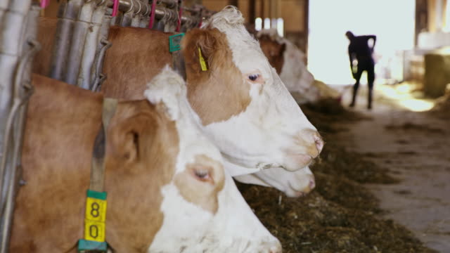 ds cattle in the barn eating hay - barns stock videos & royalty-free footage