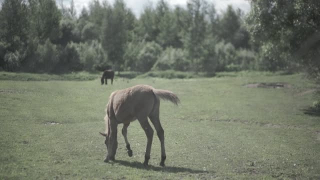 Cattle in the corral. Horses eating the grass inside the corral. A horses grazes is a pasture video
