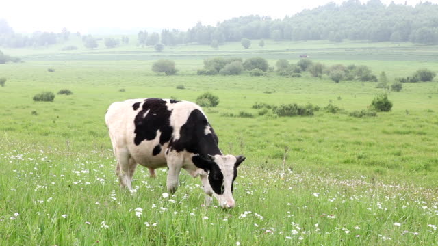 cattle in the meadow eating grass - i̇nek stok videoları ve detay görüntü çekimi