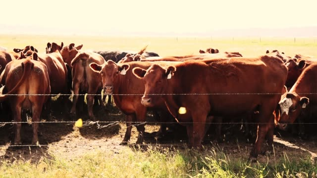 cattle in the nature