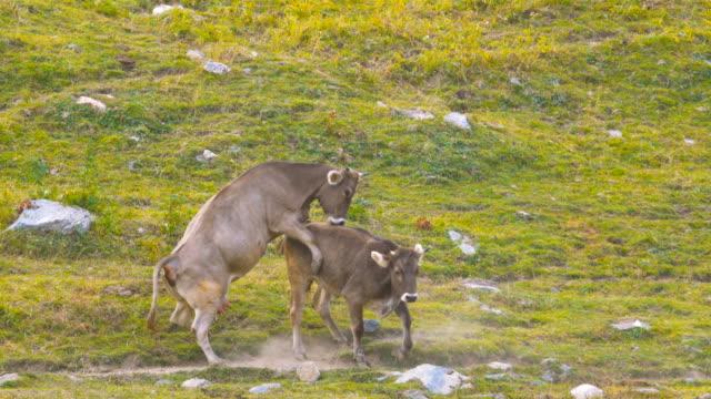 cattle male female bull cow adult breeding sex copulation - zachowanie zwierzęcia filmów i materiałów b-roll