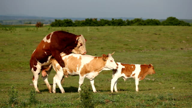 Cattle mating