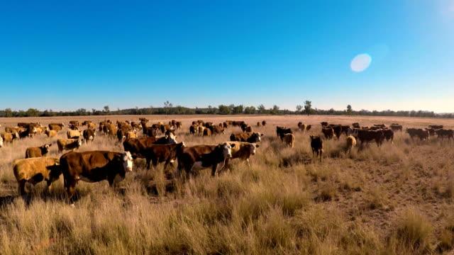 vídeos de stock, filmes e b-roll de agrupamento de gado de grama alimentados de bovinos de corte - manada