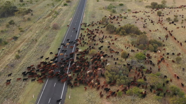 cattle muster Mustering cattle in the west of Queensland, Australia. cattle stock videos & royalty-free footage