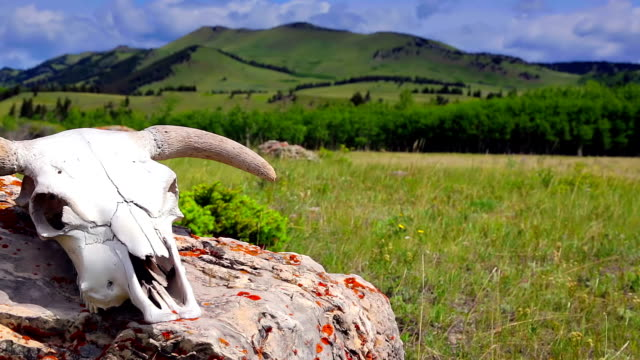 Cattle skull in open pasture western concept video