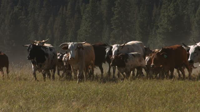 cattle stampede, slow motion - nötkreatur bildbanksvideor och videomaterial från bakom kulisserna