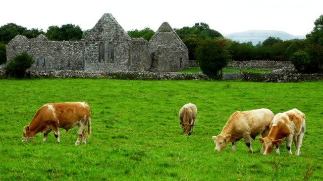 Cattles Grazing In Front Of Ruined Irish Monastery Cinemagraph video