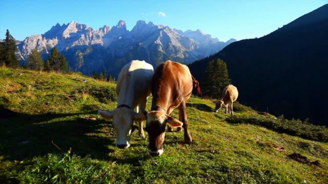 Rinder grasen auf hohen Berg Weide Cinemagramm – Video