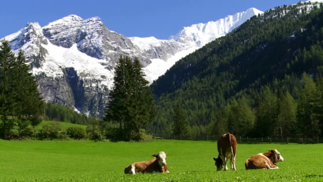 stockvideo's en b-roll-footage met cattles grazen in high mountain valley cinemagraph - alpen