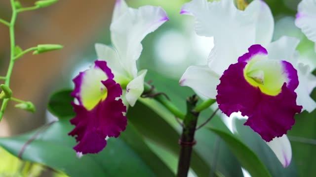 Cattleya Labiata flowers bloom in the spring sunshine