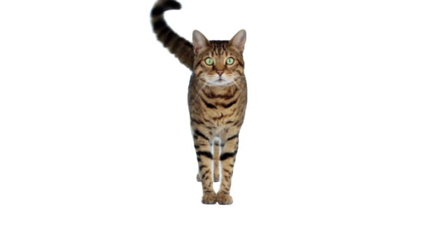 Catwalk Bengal cat walking towards camera on white background tail stock videos & royalty-free footage